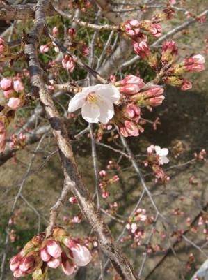 Sakura12012